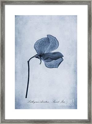 Sweet Pea Cyanotype Framed Print by John Edwards