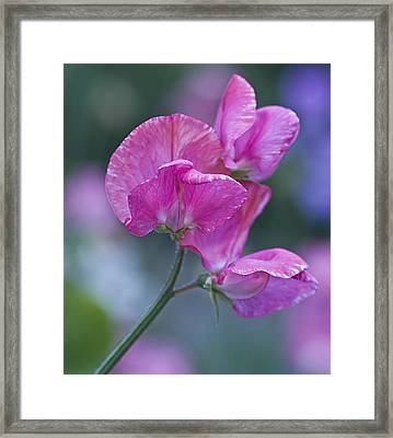 Sweet Pea In Pink Framed Print