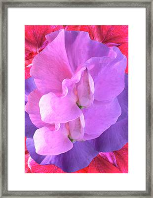 Sweet Pea (lathyrus Sp.) Flowers Framed Print by Archie Young