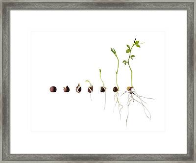 Sweet Pea Seed Germination Sequence Framed Print
