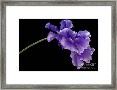 Sweet Pea Study Framed Print by Anne Gilbert