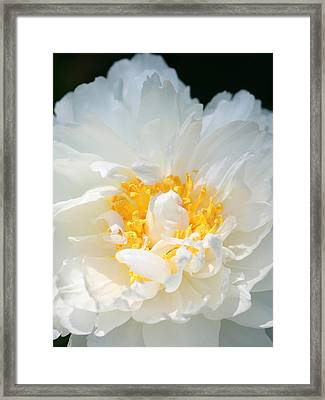 Framed Print featuring the photograph Sweet Peony by The Art Of Marilyn Ridoutt-Greene
