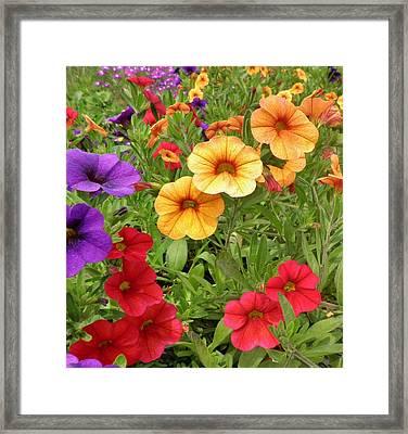 Sweet Petunias Framed Print