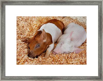 Sweet Piglets Nap Art Prints Framed Print by Valerie Garner