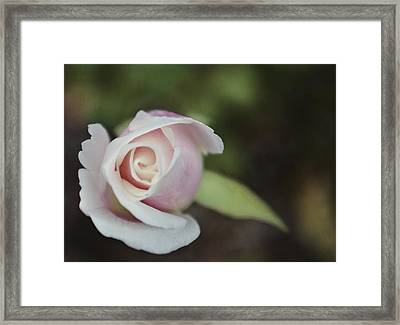 Sweet Pink Rose Framed Print