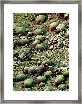 Sweet Potato Leaf Glands Framed Print