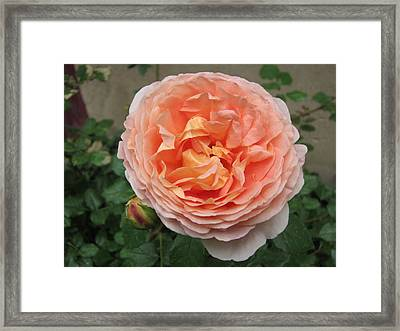 Framed Print featuring the photograph Sweet Rhapsody by Pema Hou