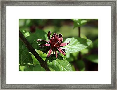 Sweet Shrub Framed Print