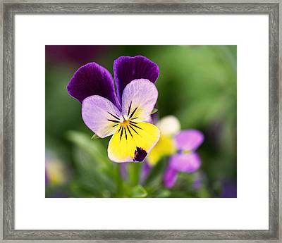 Sweet Violet Framed Print by Rona Black