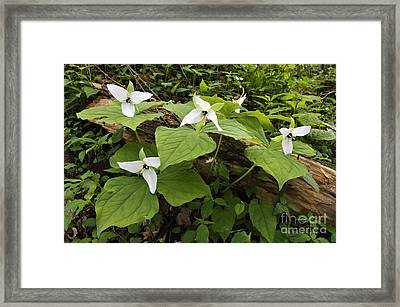 Sweet White Trillium - D003800 Framed Print by Daniel Dempster