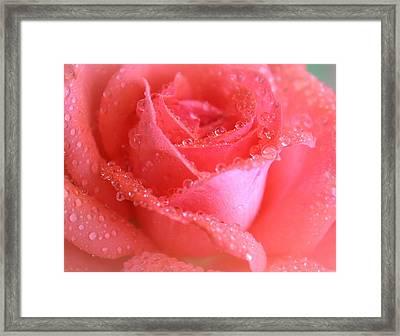 Sweetest Rose Framed Print