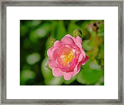 Sweetheart Rose Framed Print