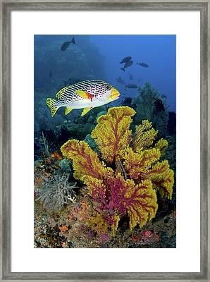 Sweetlip Fish Swims Over Gorgonian Framed Print