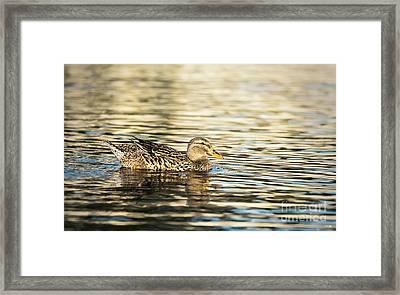 Swimming At Sunset Framed Print by Scott Pellegrin