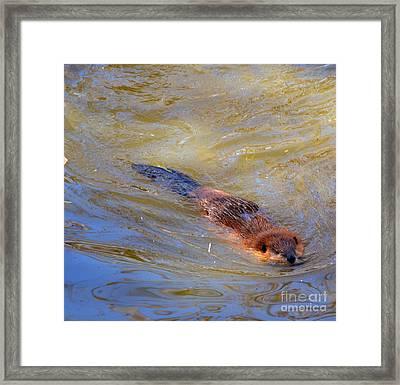 Swimming Beaver Framed Print by Eva Thomas