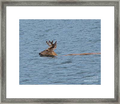Swimming Deer Framed Print by Leone Lund