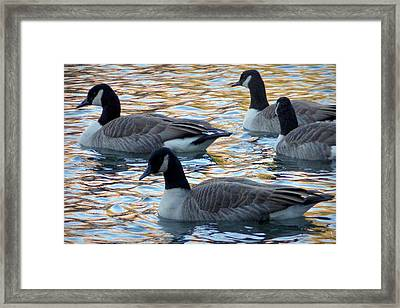 Swimming Geese Framed Print