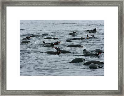 Swimming Gentoo Penguins Framed Print