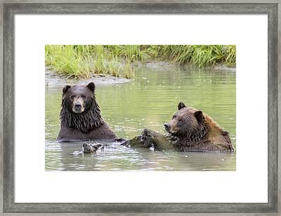Swimming Grizzlies Framed Print by Saya Studios