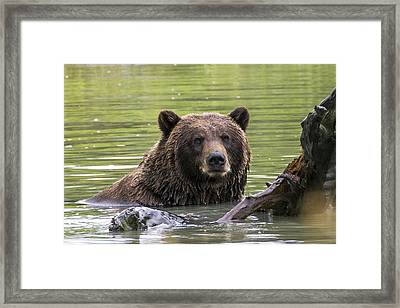 Swimming Grizzly Framed Print by Saya Studios