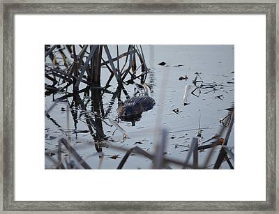 Framed Print featuring the photograph Swimming by James Petersen