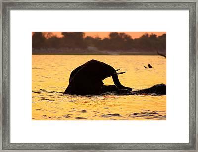 Framed Print featuring the photograph Swimming Kalahari Elephants by Amanda Stadther
