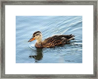 Swimming Mallard Hen Framed Print