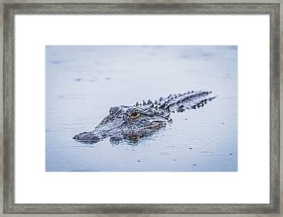 Swimming On A Rainy Day - Alligator Photograph Framed Print