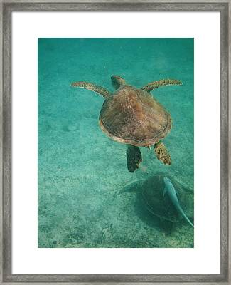Swimming With Turtles Framed Print by Heather Green