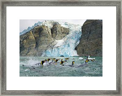Swimmings King Penguins And Glacier Framed Print by