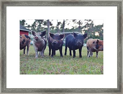 Swine Line Framed Print by Lynda Dawson-Youngclaus
