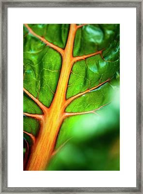 Swiss Chard (beta Vulgaris) Leaf Framed Print
