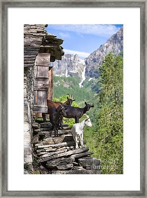 Swiss Goats Framed Print