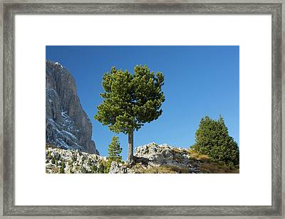 Swiss Pine (pinus Cembra) Framed Print by Bob Gibbons