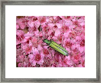 Swollen-thighed Beetle Framed Print