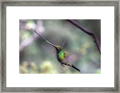 Sword-billed Hummingbird Hovering Ecuador Framed Print