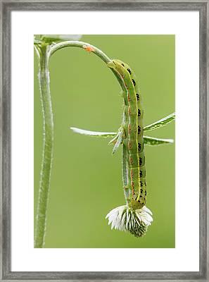 Sword-grass Caterpillar Framed Print by Heath Mcdonald