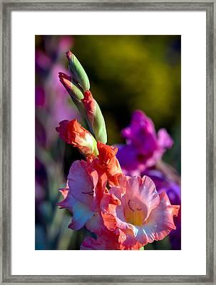 Sword Lily 3 Framed Print