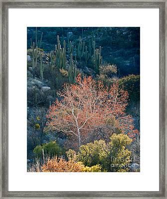 Sycamore And Saguaro Cacti, Arizona Framed Print by John Shaw