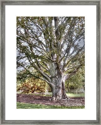 Sycamore At Biltmore Framed Print by David Bearden