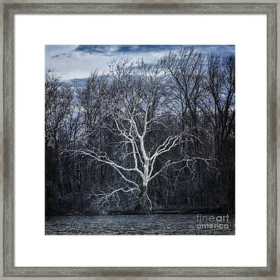 Sycamore Dreamer Framed Print by Terry Rowe