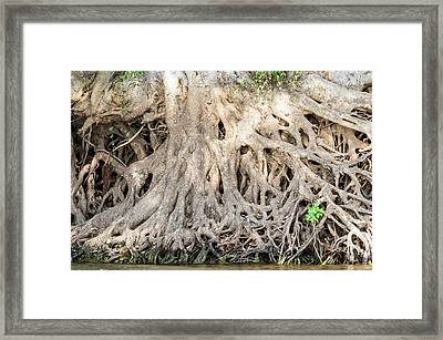 Sycamore Fig Tree Roots Binding The Soil Framed Print
