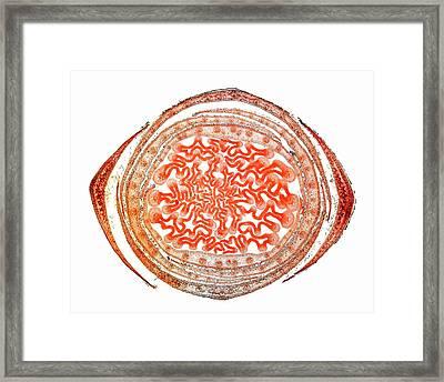 Sycamore Leaf Bud Framed Print by Dr Keith Wheeler