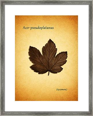 Sycamore Framed Print