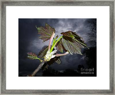 Sycamore Framed Print by Richard Brookes