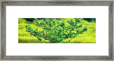 Sycamore Tree In Mustard Field Framed Print