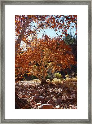 Sycamore Trees Fall Colors Framed Print