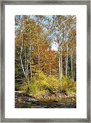 Sycamores Williams River  Framed Print by Thomas R Fletcher