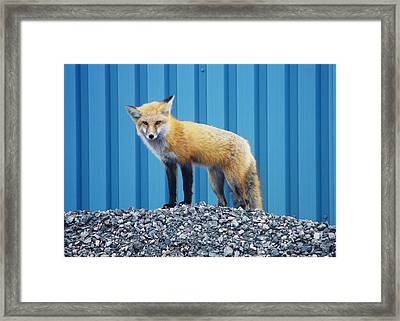 Sydney Fox Framed Print by Jason Lees