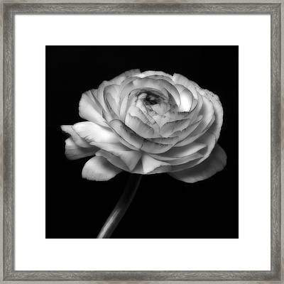 Black And White Roses Flowers Art Work Photography Framed Print by Artecco Fine Art Photography
